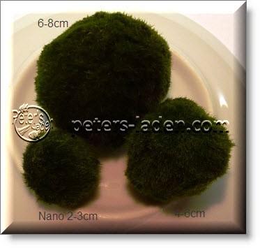 Mooskugel 6-8cm Cladophora aegagrophila - Marimo Ball