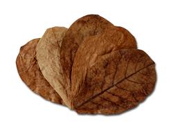 Seemandelbaumblätter 10 St. 19-25cm